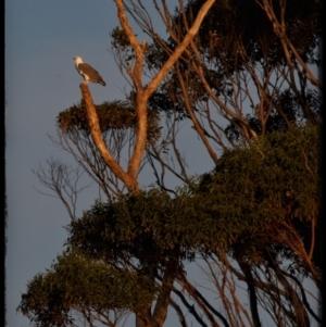 Haliaeetus leucogaster at Narrawallee Foreshore Reserves Walking Track - 20 May 2019
