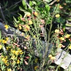 Bossiaea heterophylla (Variable Bossiaea) at South Pacific Heathland Reserve - 20 May 2019 by NicholasdeJong