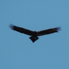 Aquila audax (Wedge-tailed Eagle) at Lavington, NSW - 20 Jul 2017 by michaelb