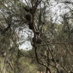 Allocasuarina littoralis (Black She-oak) at Wingecarribee Local Government Area - 21 Nov 2018 by Margot