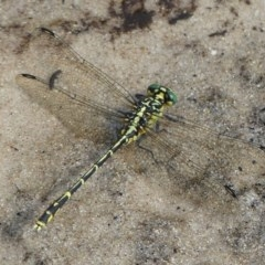 Austrogomphus ochraceus (Jade Hunter) at Jervis Bay, JBT - 27 Jan 2019 by christinemrigg