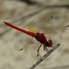 Diplacodes haematodes (Scarlet Percher) at Jervis Bay, JBT - 19 Jan 2019 by christinemrigg