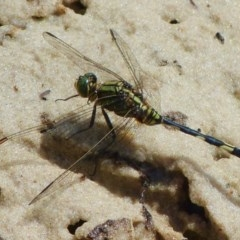 Orthetrum sabina (Slender Skimmer) at Jervis Bay, JBT - 22 Feb 2019 by christinemrigg
