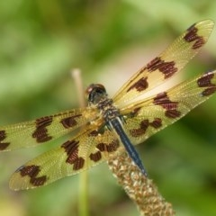 Rhyothemis graphiptera (Graphic Flutterer) at Vincentia, NSW - 7 Dec 2018 by christinemrigg
