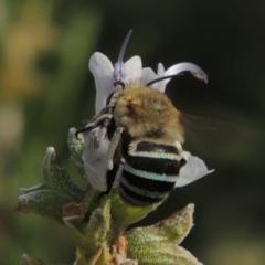 Amegilla (Zonamegilla) asserta (Blue Banded Bee) at Wodonga LGA - 21 Feb 2017 by michaelb