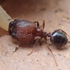 Pheidole sp. (genus) (Seed-harvesting ant) at Spence, ACT - 4 Mar 2019 by Watermilli
