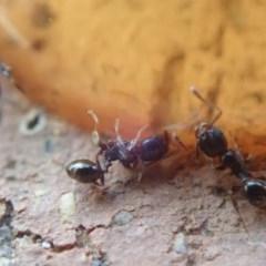 Pheidole sp. (genus) (Seed-harvesting ant) at Spence, ACT - 3 Mar 2019 by Watermilli