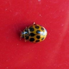 Harmonia conformis (Common Spotted Ladybird) at Macarthur, ACT - 22 May 2019 by RodDeb