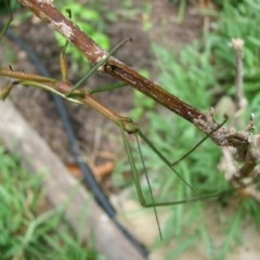 Didymuria violescens (Spur-legged stick insect) at Sanctuary Point, NSW - 5 Jan 2011 by christinemrigg
