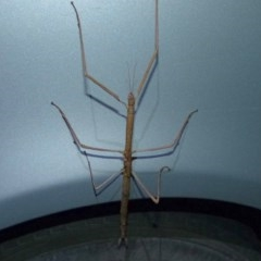 PHASMATODEA (Unidentified Stick Insect) at Sanctuary Point, NSW - 17 Nov 2013 by christinemrigg