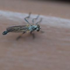 Cerdistus sp. (genus) (Robber fly) at Wamboin, NSW - 14 Nov 2018 by natureguy