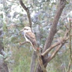 Dacelo novaeguineae (Laughing Kookaburra) at Wamboin, NSW - 15 Nov 2018 by natureguy