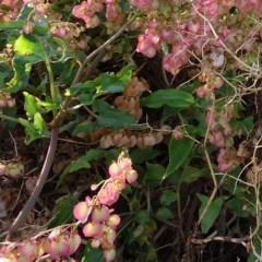 Rumex sagittatus (Turkey Rhubarb, Climbing Dock) at Batemans Marine Park - 20 May 2019 by JackieMiles
