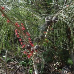 Allocasuarina littoralis (Black She-oak) at Batemans Marine Park - 20 May 2019 by JackieMiles