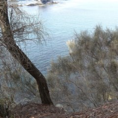 Allocasuarina verticillata (Coast She-oak) at Batemans Marine Park - 20 May 2019 by JackieMiles