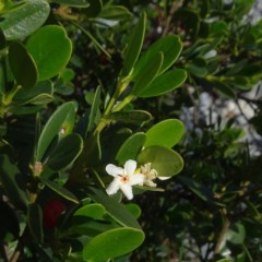 Alyxia buxifolia (Sea Box) at Batemans Marine Park - 20 May 2019 by JackieMiles
