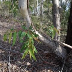 Eucalyptus pilularis (Blackbutt) at Batemans Marine Park - 20 May 2019 by JackieMiles