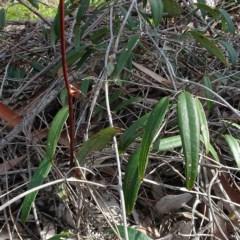 Smilax glyciphylla (Native/Sweet Sarsaparilla) at Batemans Marine Park - 20 May 2019 by JackieMiles