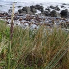 Sporobolus virginicus (Coastal Rat-tail Grass) at Batemans Marine Park - 20 May 2019 by JackieMiles