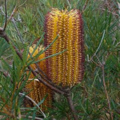 Banksia spinulosa var. spinulosa (Hairpin Banksia) at Mogo State Forest - 22 May 2019 by JackieMiles