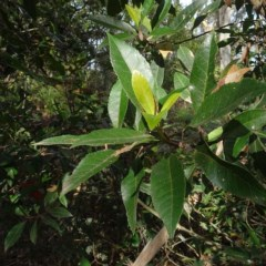 Elaeocarpus reticulatus (Blueberry Ash) at Batemans Marine Park - 20 May 2019 by JackieMiles