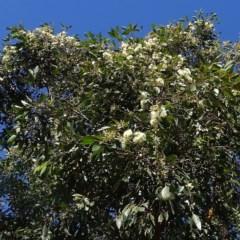 Eucalyptus robusta (Swamp Mahogany) at Malua Bay, NSW - 21 May 2019 by JackieMiles
