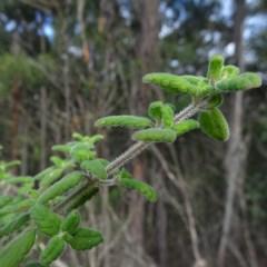 Prostanthera incana (Velvet Mint-bush) at Mogo State Forest - 22 May 2019 by JackieMiles