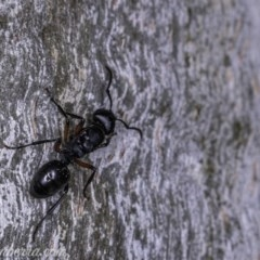 Polyrhachis sp. (genus) (A spiny ant) at Hughes Garran Woodland - 17 May 2019 by BIrdsinCanberra