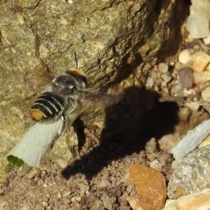 Megachile (Eutricharaea) maculariformis at ANBG - 22 May 2019