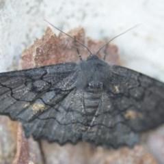 Melanodes anthracitaria (Black Geometrid) at Wamboin, NSW - 24 Nov 2018 by natureguy