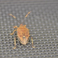Poecilometis strigatus (Gum Tree Shield Bug) at Wamboin, NSW - 25 Nov 2018 by natureguy