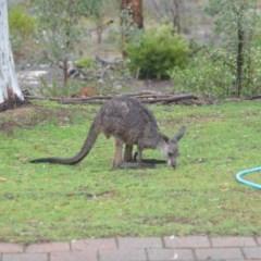 Macropus giganteus (Eastern Grey Kangaroo) at Wamboin, NSW - 27 Nov 2018 by natureguy