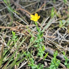 Hypericum gramineum (Small St John's Wort) at One Track For All - 31 Oct 2014 by NicholasdeJong