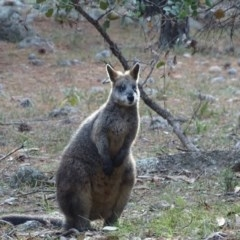 Wallabia bicolor (Swamp Wallaby) at Isaacs Ridge and Nearby - 24 May 2019 by Mike