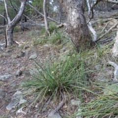 Lomandra longifolia (Spiny-headed Mat-rush, Honey Reed) at Isaacs, ACT - 24 May 2019 by Mike