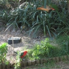 Alisterus scapularis (Australian King-Parrot) at Florey, ACT - 24 May 2019 by Kurt