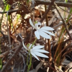 Caladenia picta (Painted fingers) at Booderee National Park - 25 May 2019 by AaronClausen