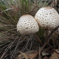 Chlorophyllum/Macrolepiota sp. at Tidbinbilla Nature Reserve - 24 May 2019 by Christine