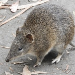 Isoodon obesulus (Southern Brown Bandicoot) at Tidbinbilla Nature Reserve - 24 May 2019 by Christine
