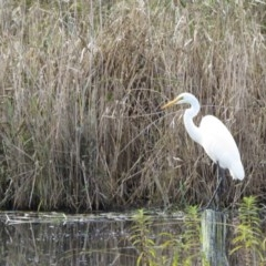 Ardea alba (Great Egret) at Panboola - 21 May 2019 by LizAllen