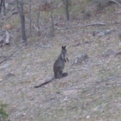 Wallabia bicolor (Swamp Wallaby) at Isaacs Ridge and Nearby - 25 May 2019 by Mike