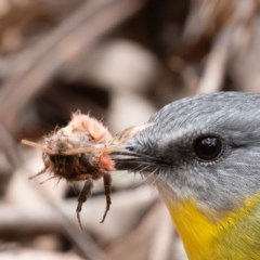 Eopsaltria australis (Eastern Yellow Robin) at Paddys River, ACT - 24 May 2019 by rawshorty