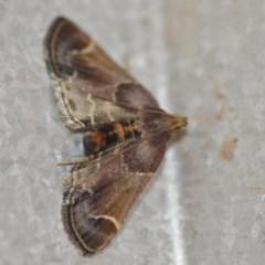 Pyralis farinalis (Meal Moth) at Wamboin, NSW - 3 Dec 2018 by natureguy