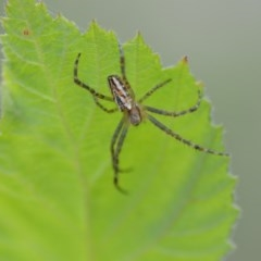 Plebs bradleyi (Enamelled Spider) at Wamboin, NSW - 7 Dec 2018 by natureguy