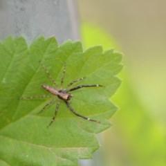 Helpis minitabunda (Jumping spider) at Wamboin, NSW - 7 Dec 2018 by natureguy