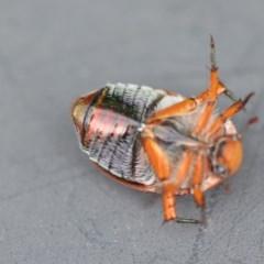 Anoplognathus porosus (Porosus Christmas beetle) at Wamboin, NSW - 7 Dec 2018 by natureguy