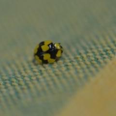 Illeis galbula (Fungus-eating Ladybird) at Wamboin, NSW - 7 Dec 2018 by natureguy