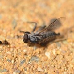 Cerdistus sp. (genus) (Robber fly) at Wamboin, NSW - 7 Dec 2018 by natureguy