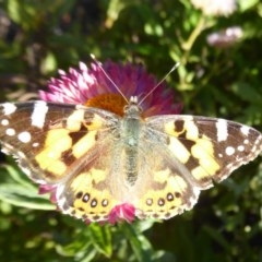 Vanessa kershawi (Australian Painted Lady) at ANBG - 20 May 2019 by Christine