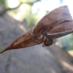 Deliochus sp. (genus) at ANBG - 20 May 2019
